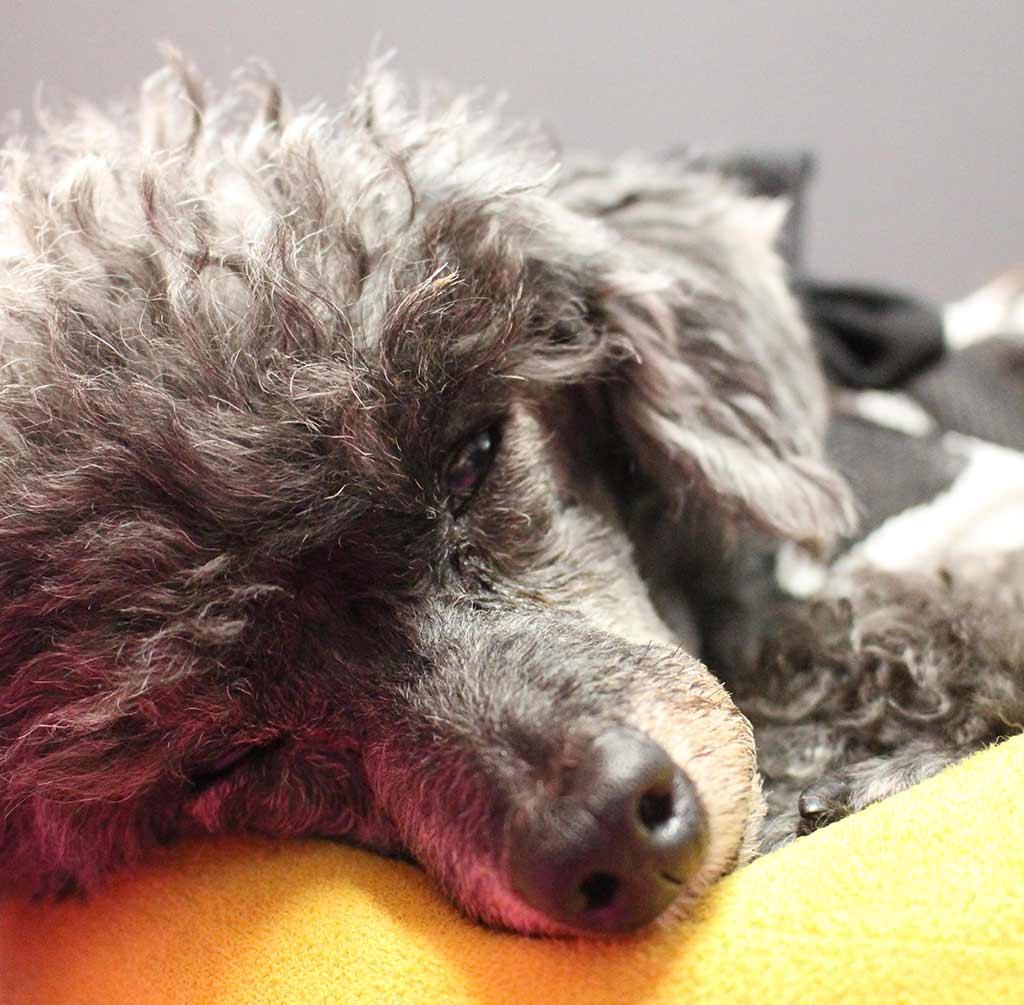 シニア犬の写真